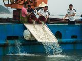 大黄鱼增殖放流